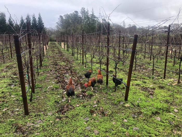 Chickens in the vineyard
