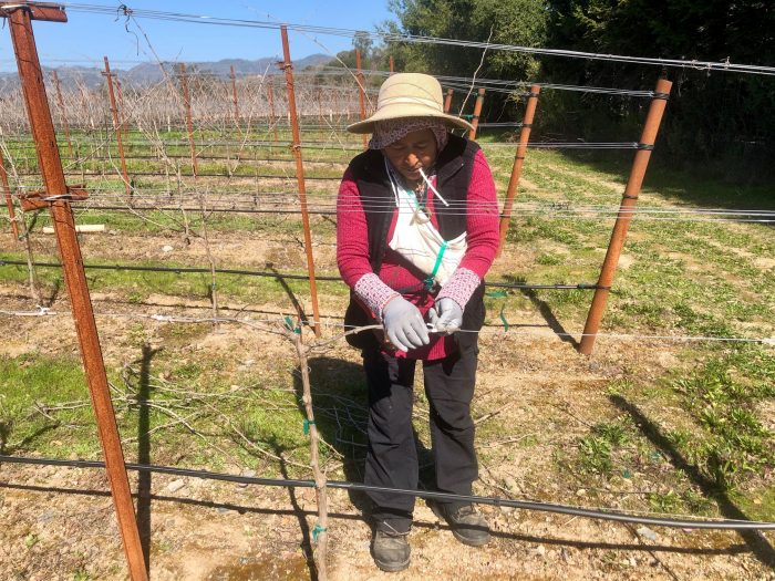 Vineyard pruner at work